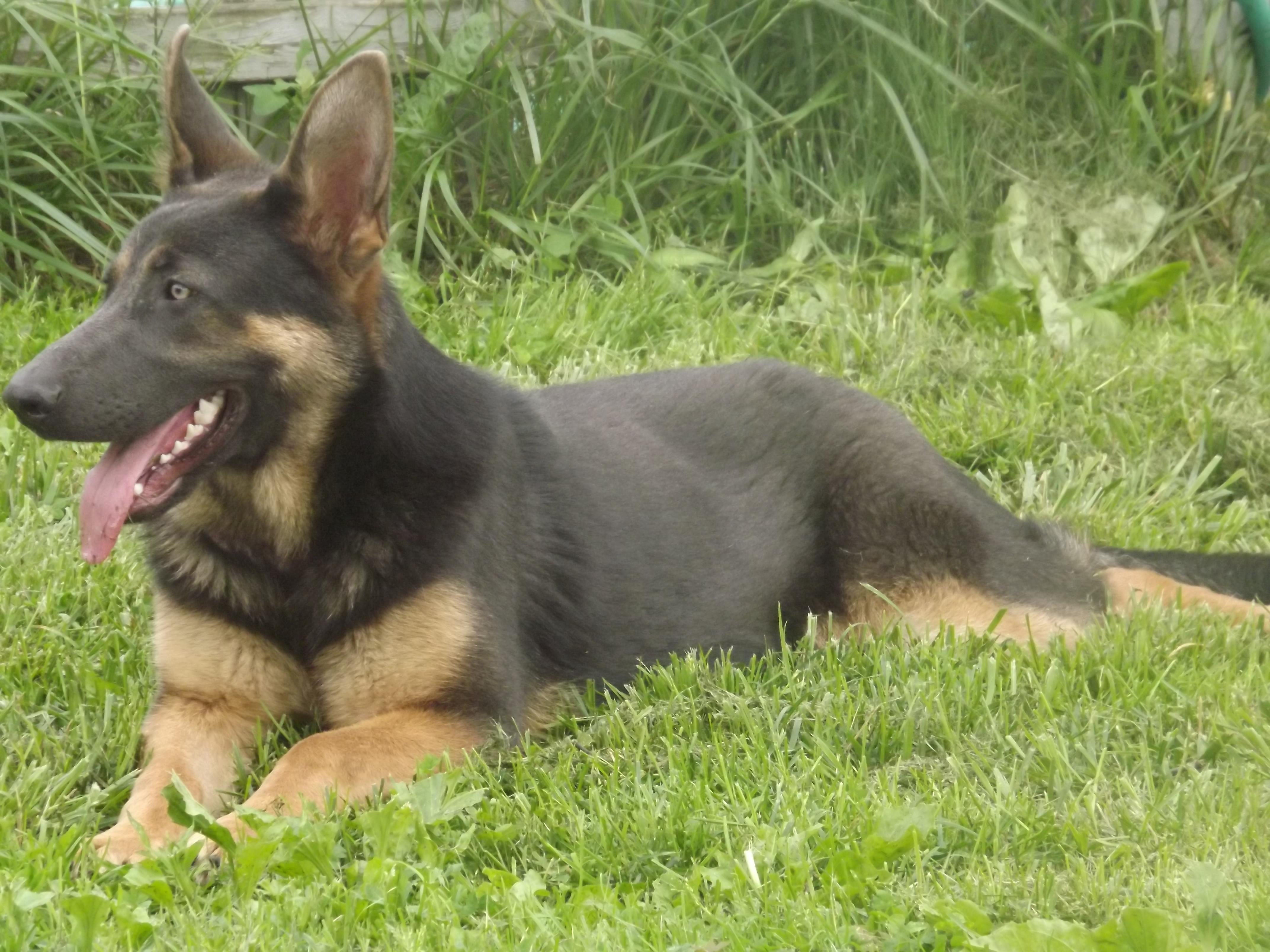 German Shepherd Blue And Tan KALMES ACRES GERMAN SH...